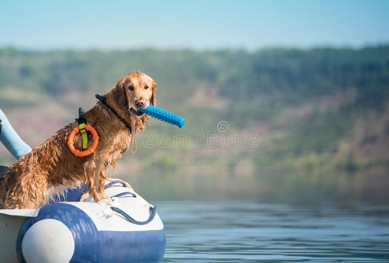 Golden labrador retriever in boat on the lake royalty free stock images