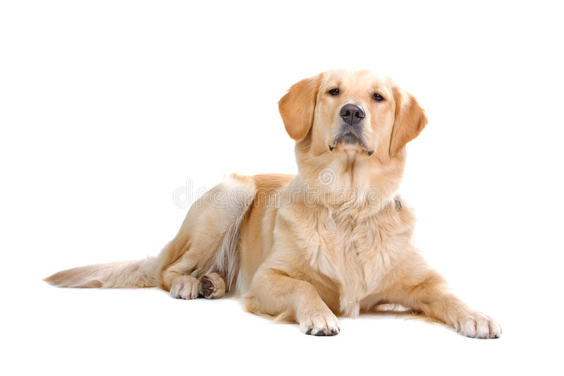 Golden Labrador Retriever dog. Closeup of golden Labrador Retriever dog, isolated on white background stock image