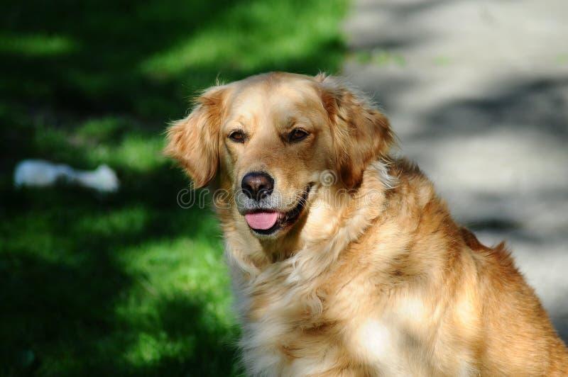 Golden Labrador Retriever Dog Free Public Domain Cc0 Image