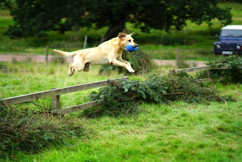 Golden Labrador Retriever leaping over fence. A golden Labrador Retriever leaps over a fence with a toy in its mouth during working dog trials royalty free stock photo