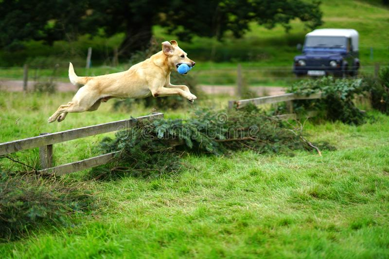 Golden Labrador Retriever leaping over fence. A golden Labrador Retriever leaps over a fence during working dog trials royalty free stock images