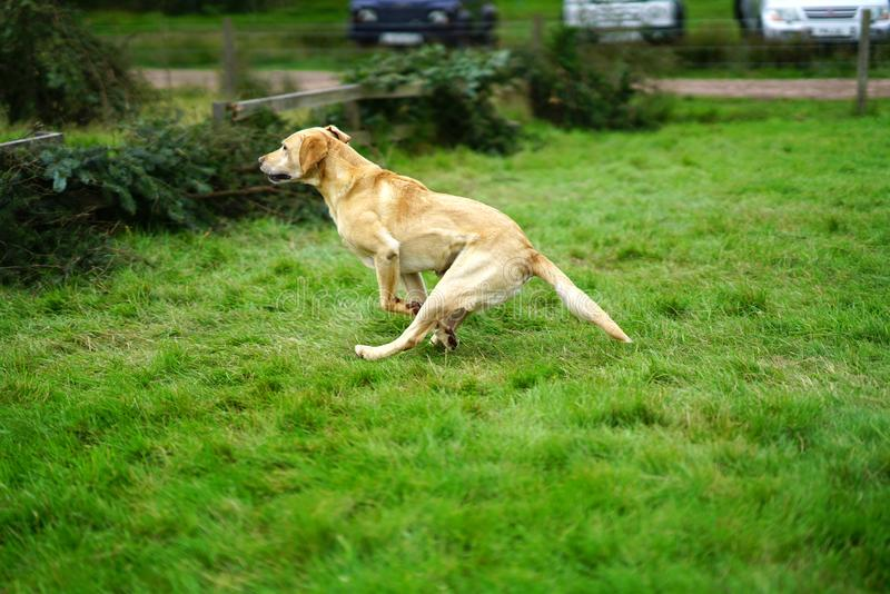 Golden Labrador Retriever leaping over fence. A golden Labrador Retriever leaps over a fence during working dog trials royalty free stock photo