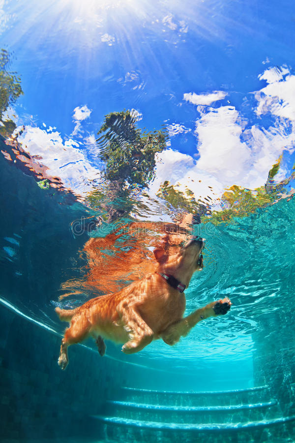 Golden labrador retriever puppy in swimming pool. Underwater funny photo. Underwater funny photo of golden labrador retriever puppy in swimming pool play with royalty free stock image