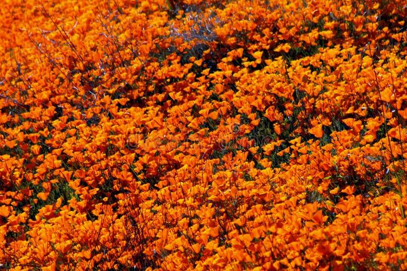 Golden landscape, California poppy meadow, Walker Canyon stock photography
