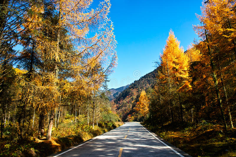 Download Golden Larch stock image. Image of leafage, leaves, autumnal - 30724845