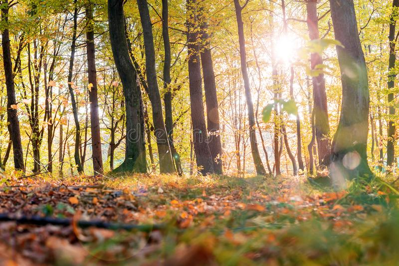 Golden leaves on branch, autumn wood with sun rays, beautiful landscape stock photo