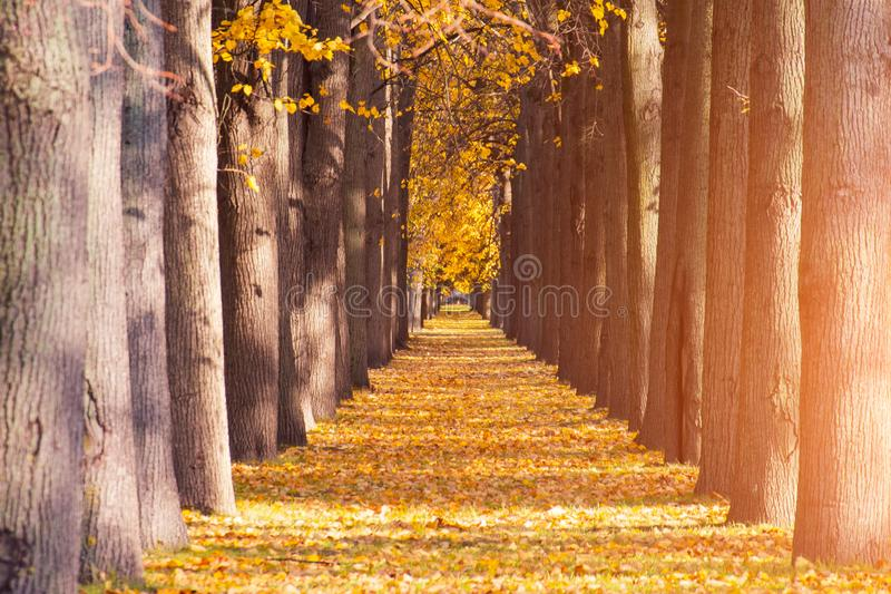 Golden leaves on branch, autumn wood tree tunnel, beautiful landscape.  royalty free stock photo