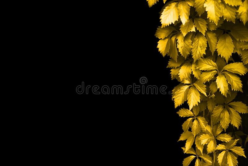 Golden leaves frame on black background isolated close up, yellow autumn girlish grape foliage decorative corner border copy space stock images