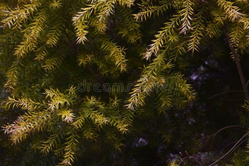 Melaleuca Revolution Gold. Golden leaves / Melaleuca Revolution Gold stock images