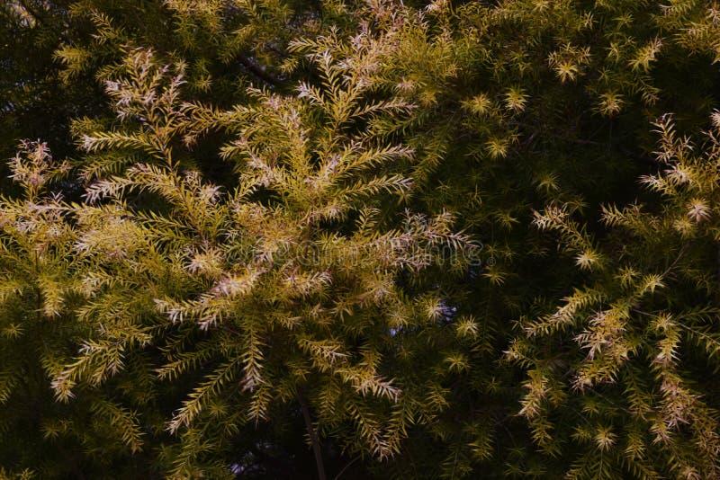 Melaleuca Revolution Gold. Golden leaves / Melaleuca Revolution Gold stock photography