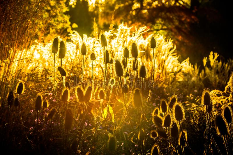Golden light flowers in autumn royalty free stock photography