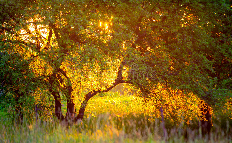 Golden light sunset and tree. In a field royalty free stock photo