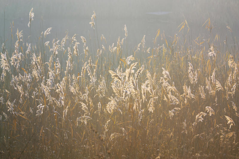 Golden light. A view of the sunrise through the grass, Field of grass during sunrise royalty free stock images