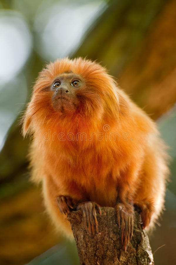 Golden lion tamarin royalty free stock photography