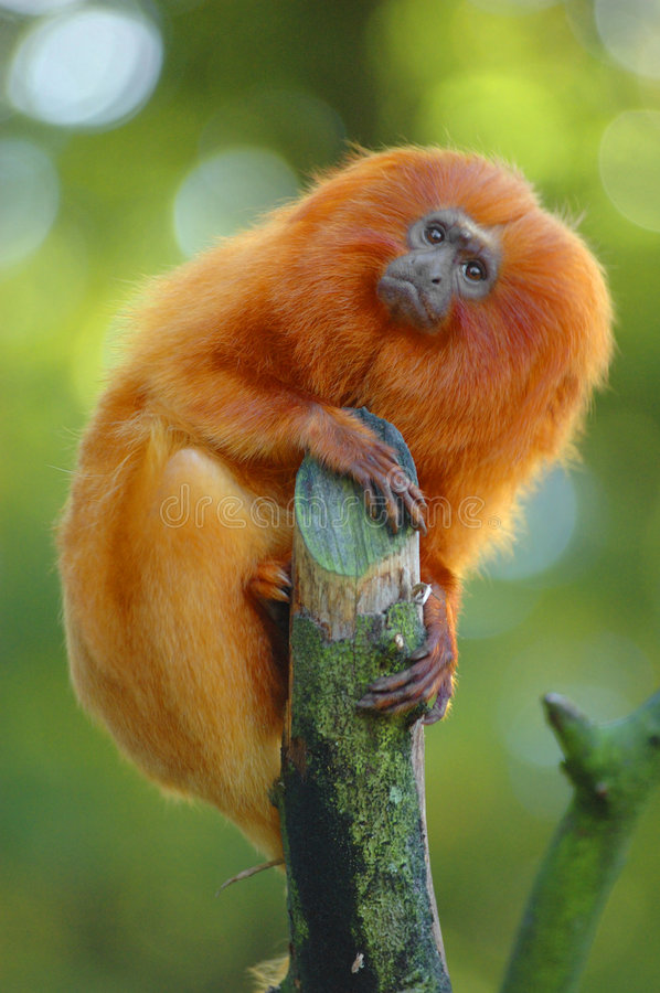 Free Golden Lion Tamarin Royalty Free Stock Photography - 5149527