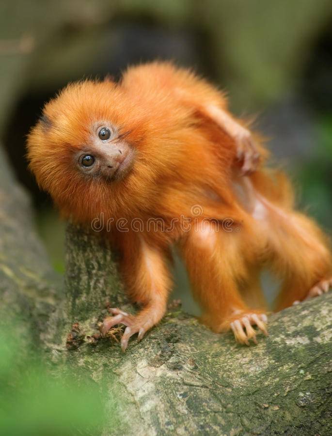 Golden lion tamarin baby royalty free stock photo