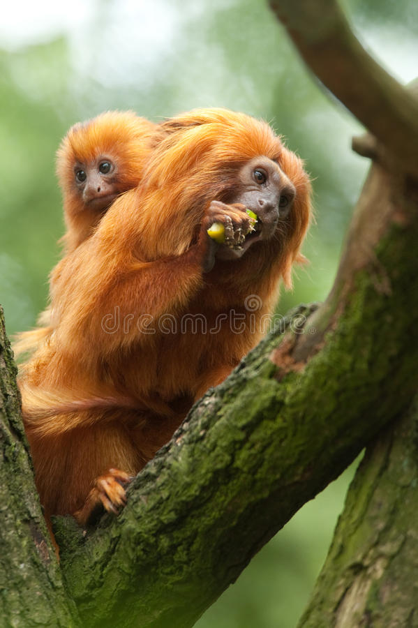 Golden lion tamarin baby stock images