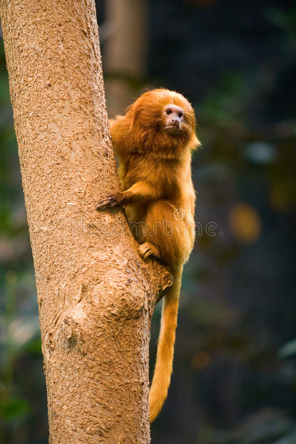 Download Golden Lion Tamarin Monkey stock photo. Image of rare - 8960400