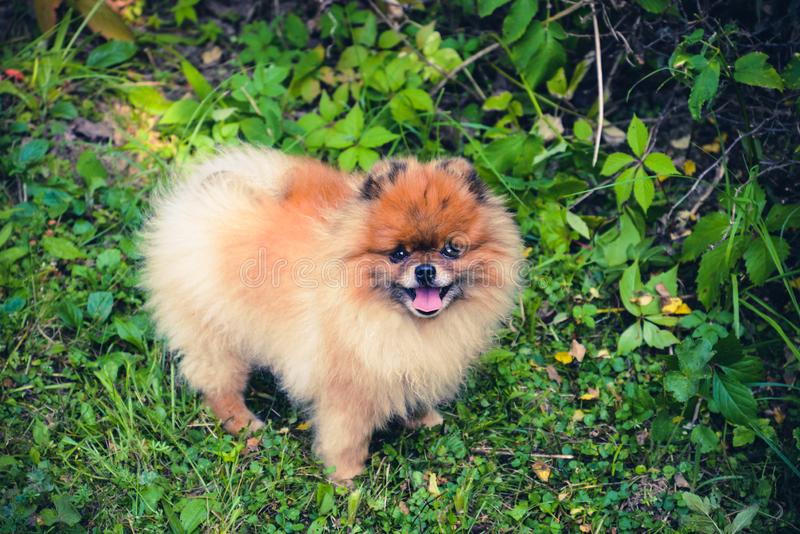 Golden little Pomeranian spitz dog on the green grass. Lovely dog in the park, garden. Red pomeranian spitz looking at the camera royalty free stock photography