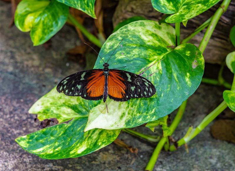 Golden longwing Heliconius hecale butterfly on golden pothos leaf royalty free stock photos