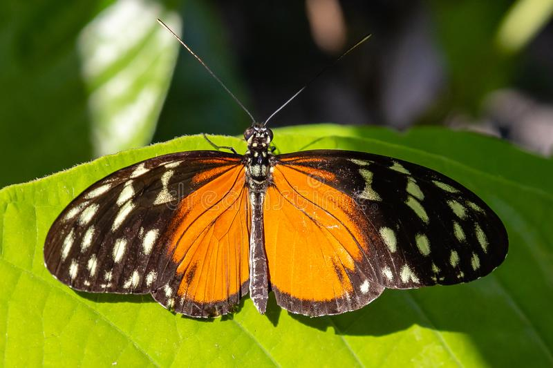 Golden longwing Heliconius hecale butterfly with wide open wings royalty free stock photography