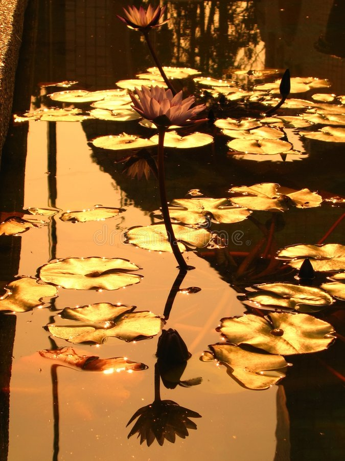 Golden Lotus Pond stock image