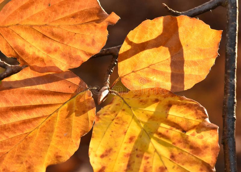 Golden Luminescent Alder Leaves Bathed in Winter Sun. Alder leaves glow in low lying Winter Sunlight, shadows cast by adjoining branches provide silhouettes as stock photos