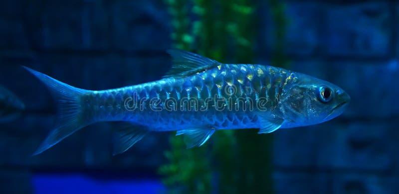 Golden mahseer. Swimming on aquarium fish - Gold soro brook carp Neolissochilus soroides royalty free stock image
