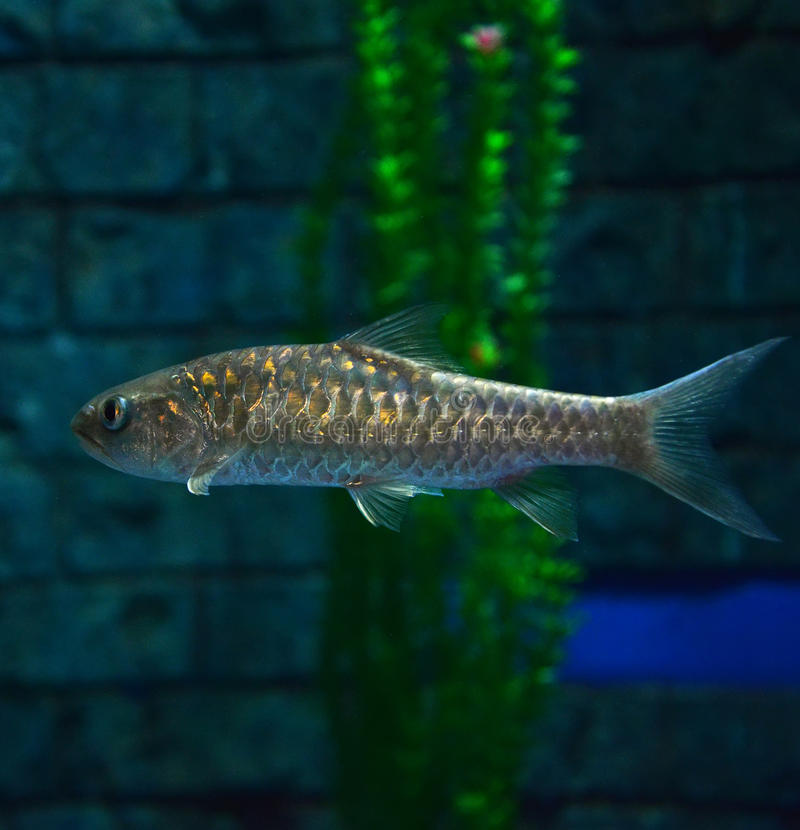 Golden mahseer. Swimming on aquarium fish - Gold soro brook carp Neolissochilus soroides stock photography