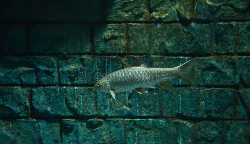 Golden mahseer. Swimming on aquarium fish - Gold soro brook carp Neolissochilus soroides royalty free stock images