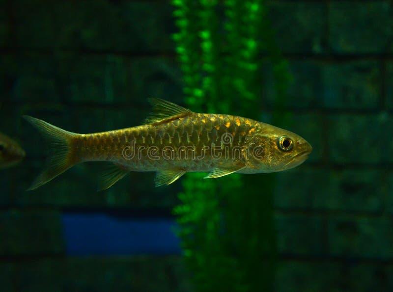 Golden mahseer. Swimming on aquarium fish - Gold soro brook carp Neolissochilus soroides stock photo
