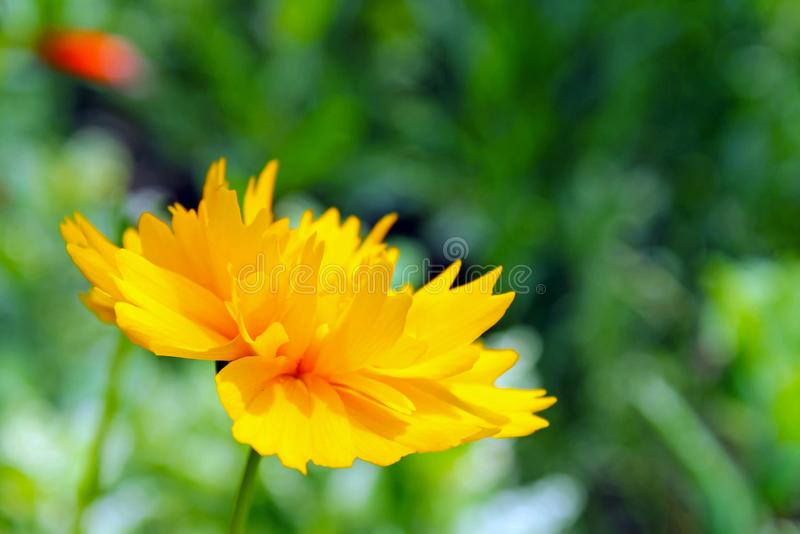 Golden-mane Coreopsis, Coreopsis basalis. 金鸡菊。Coreopsis basalis Golden-mane Coreopsis is a North American plant species in the sunflower stock photo