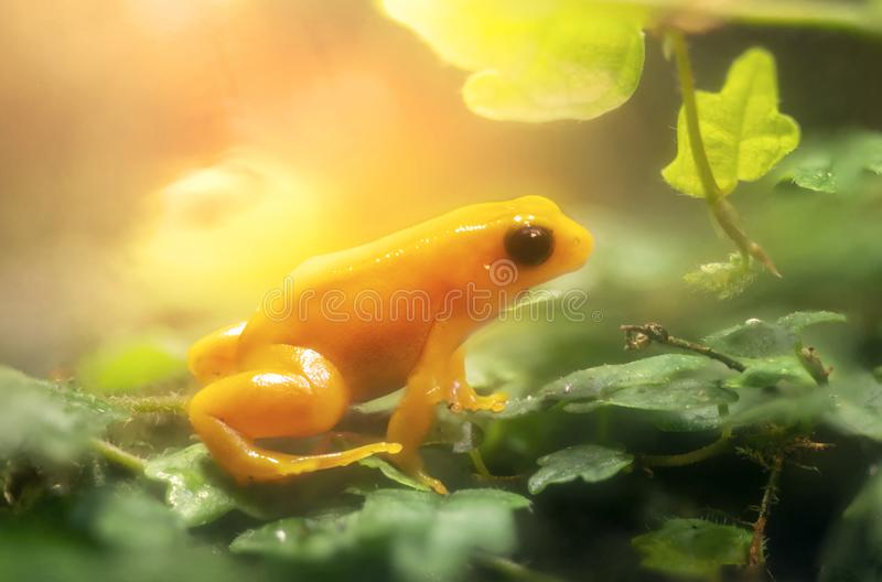 Golden Mantella Frog stockfoto