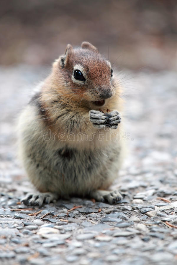 Download Golden-Mantled Ground Squirrel Stock Photo - Image: 16697468