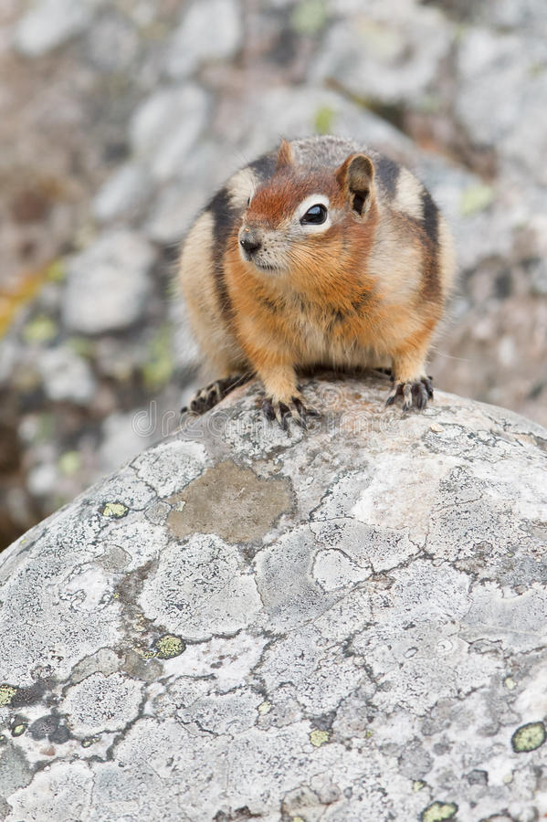 Download Golden-mantled Ground Squirrel Stock Photo - Image: 18115760