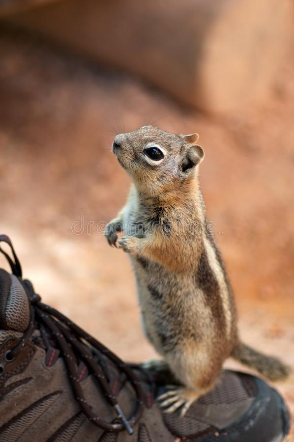 Golden-mantled ground squirrel. Perched on a shoe, begging for food, in Bryce canyon royalty free stock photo