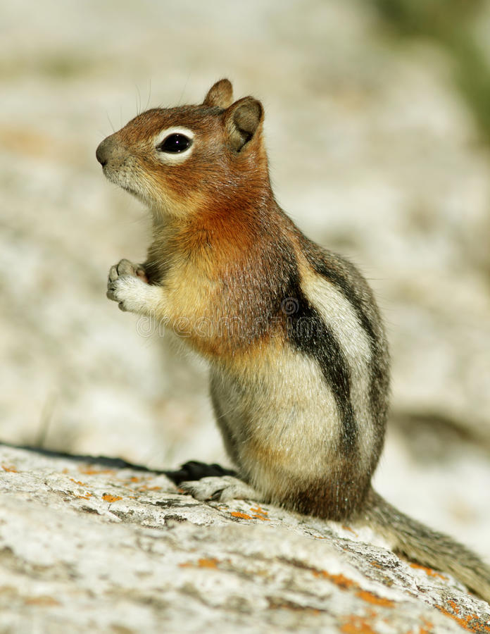 Download Golden-Mantled Ground Squirrel Stock Photo - Image: 20773310