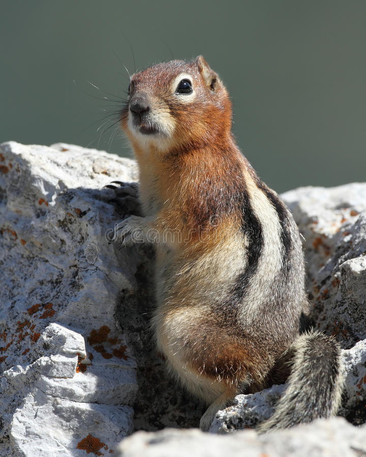 Download Golden-Mantled Ground Squirrel Stock Photo - Image: 20961020