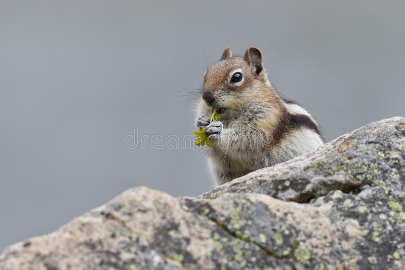Golden-mantled Ground Squirrel - Jasper National Park, Canada. Golden-mantled Ground Squirrel (Callospermophilus lateralis) eating leaves - Jasper National Park royalty free stock photos