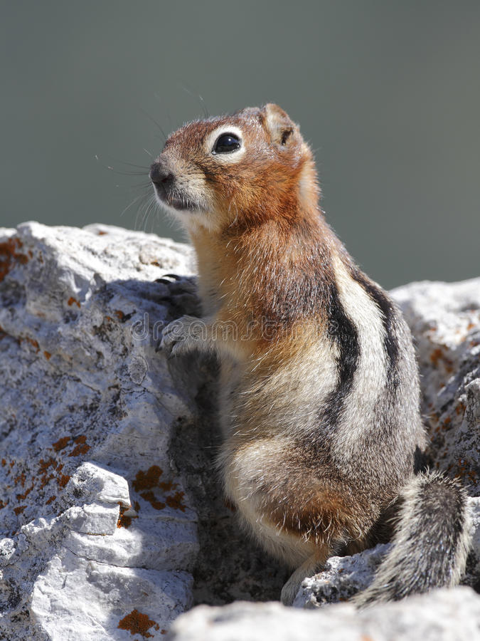Golden-mantled Ground Squirrel - Jasper National Park, Canada. Golden-mantled Ground Squirrel (Callospermophilus lateralis) Perched on a Rock - Jasper National royalty free stock image