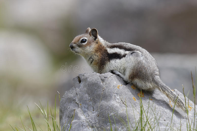 Golden-mantled Ground Squirrel - Jasper National Park, Canada. Golden-mantled Ground Squirrel (Callospermophilus lateralis) sitting on a boulder - Jasper royalty free stock images