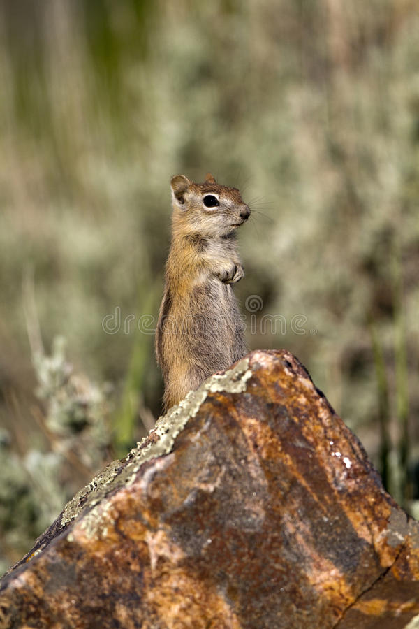 Download Golden-mantled Ground Squirrel, Spermophilus Later Stock Image - Image: 19985361