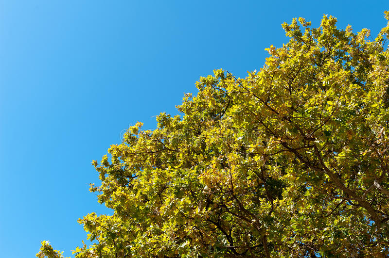 Golden maple leaf on blue sky stock images