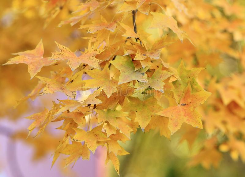 Golden maple leaves in late autumn stock photography
