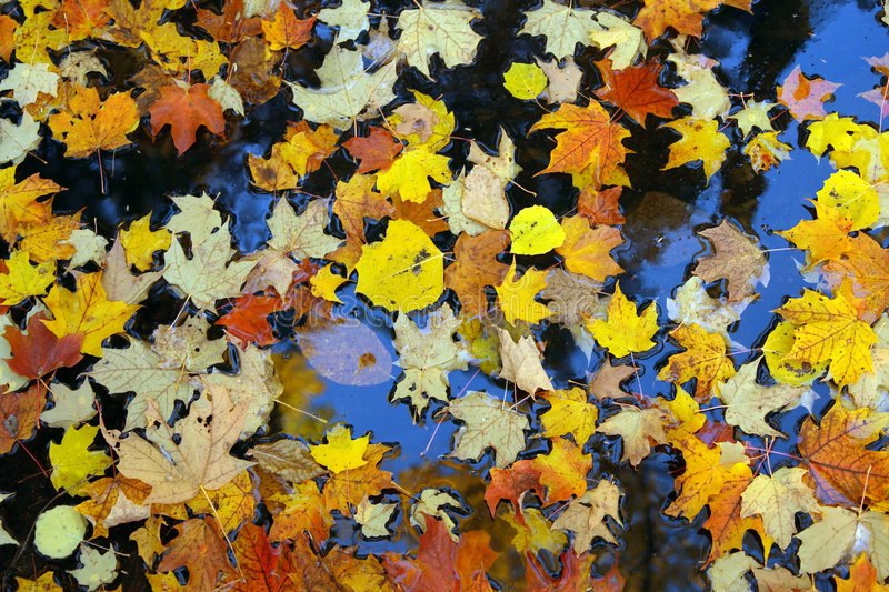 Golden maple leaves on water. Canadian autumn stock image