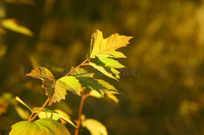 Golden maple meets autumn in its autumn`s dress. Golden maple with its yellow leaves on the branch meets autumn in it`s autumn`s dress royalty free stock photos