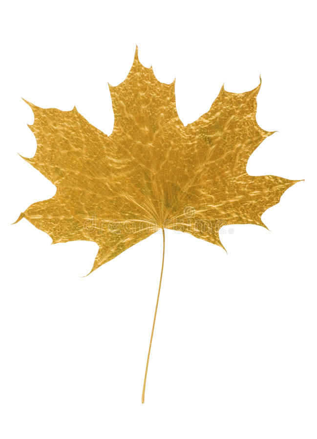 Golden Maple Tree Leaf Royalty Free Stock Photos