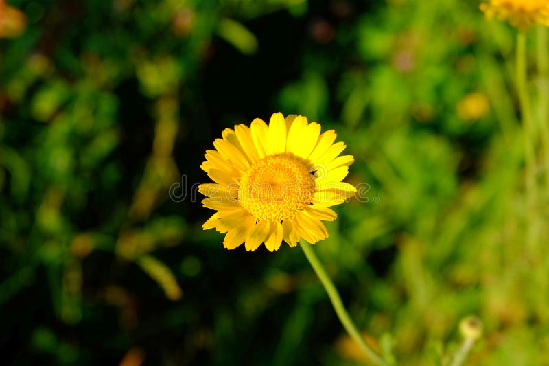 Yellow marguerite flower in sunlight at summer royalty free stock images