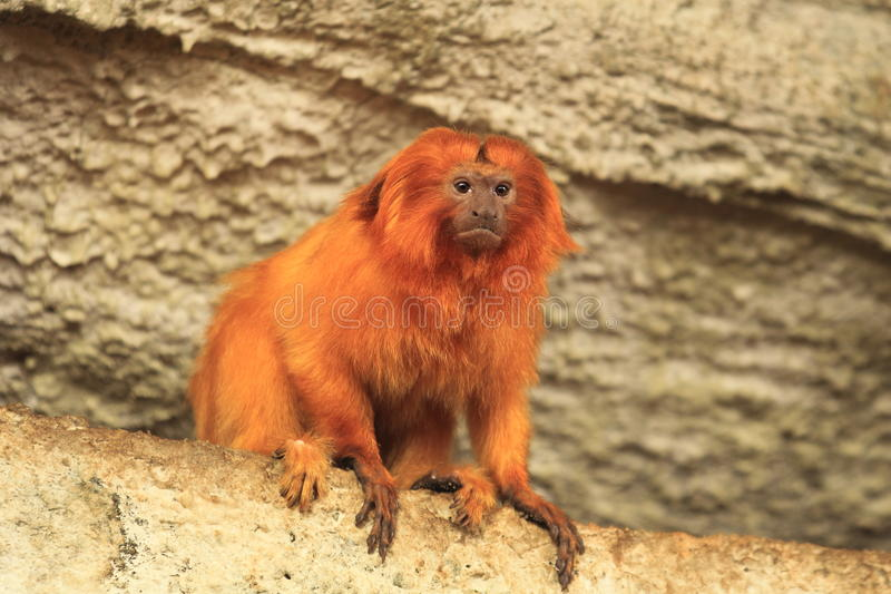 Golden marmoset royalty free stock photography