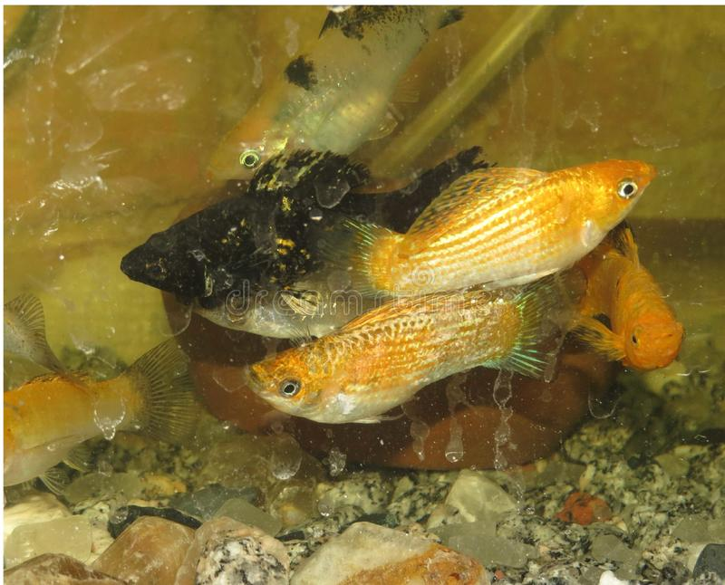 Golden moly water tank fish aq royalty free stock photography